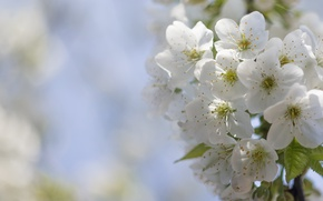 Picture cherry, flowering, flowers, bokeh