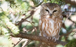 Picture tree, owl, bird, branch, Tengmalm's owl