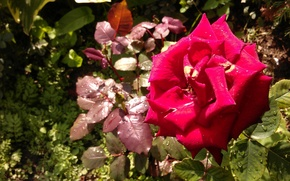 Picture flowers, mood, Roses