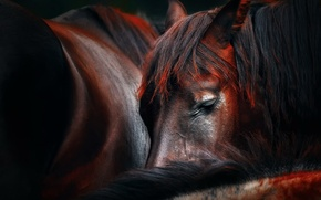 Wallpaper horse, sleep, Sleep huddle