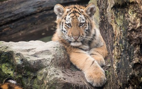 Picture cat, look, tiger, stone, kitty, tiger, Amur