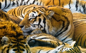 Picture cats, predators, tigers, 1920x1200, cats, predators, tigers