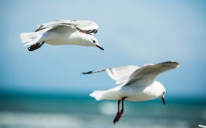 Picture the sky, flight, birds, wings, Seagull