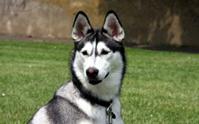 Picture face, dog, nose, dog, collar, ears, husky, carabiner