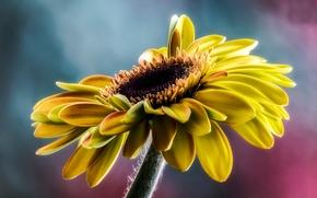 Picture macro, sunflower, petals