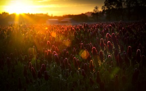 Picture field, the sun, rays, flowers, nature, glare