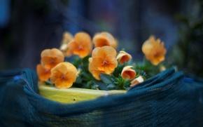 Wallpaper macro, flowers, photo, background, Wallpaper, plants, petals, Pansy, flowering