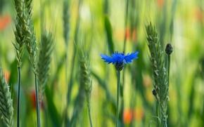 Picture field, flower, macro, blue, blur, voloshka, Cornflower