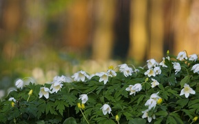 Picture nature, spring, Anemone