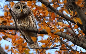 Picture look, leaves, branches, tree, owl, autumn