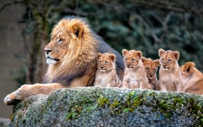 Picture nature, Lion, family, cubs