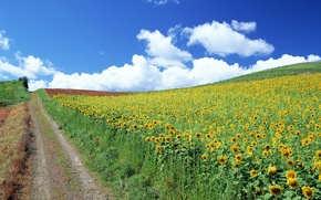 Wallpaper road, sunflowers, clouds