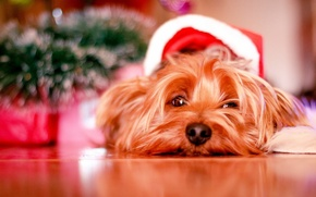 Picture Christmas, dog, cute, puppy, christmas, puppy, dog, cute