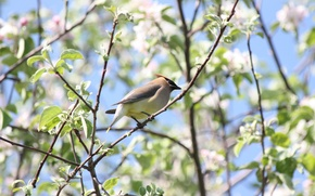 Picture bird, spring, Apple, flowering, the Waxwing