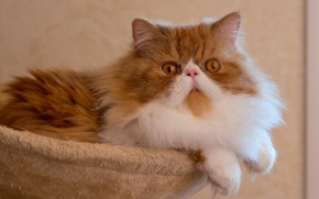 Picture cat, posing, pers, fluffy, Persian cat