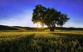 Picture field, summer, the sun, rays, nature, tree