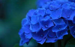 Wallpaper macro, flowers, petals, blue, Hydrangea