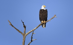 Picture tree, eagle, branch, bald eagle, wildlife