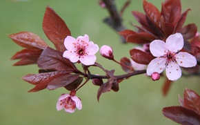 Picture macro, flowers, nature, cherry, green, background, plants, branch, spring, pink, flowering, leaves. flower, cherry blossom