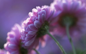 Picture flowers, petals, background, pink, Chrysanthemum, purple