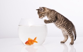 Picture cat, cat, aquarium, goldfish, white background, kitty