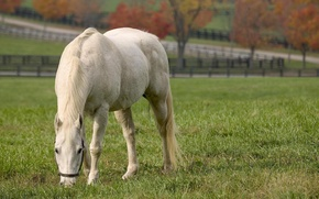 Picture summer, white horse, eating grass, white horse