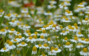 Picture field, petals, garden, Daisy, meadow