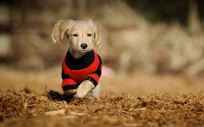 Picture background, dog, walk