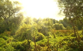 Picture greens, the sun, Forest, clear day