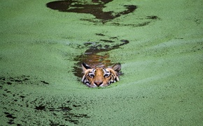Wallpaper cat, lake, tiger, India