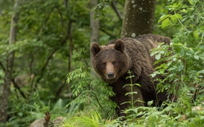 Picture forest, look, bear, the Bruins