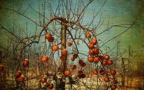 Picture apples, garden, Apple