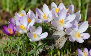 Picture macro, sheet, spring, dry, crocuses, primrose