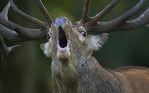 "Picture attracting females, Red Deer), Jægersborg deer park (""Deer Park"" or ""Deer Garden""), Klampenborg, Red deer …"