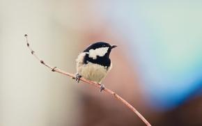 Picture background, bird, branch, Moskovka
