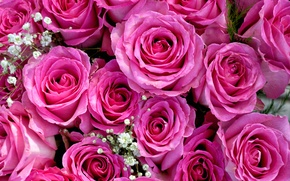 Picture pink, roses, bouquet, buds, gypsophila