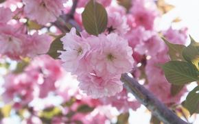 Picture flower, macro, flowers, cherry, pink, branch, tenderness, spring, petals, Sakura