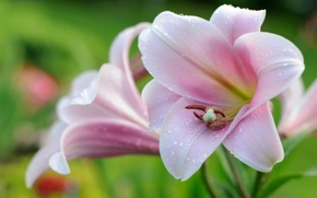 Wallpaper tenderness, pink, Lily, macro, drops