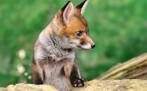 Picture nature, animal, stone, cub, Fox