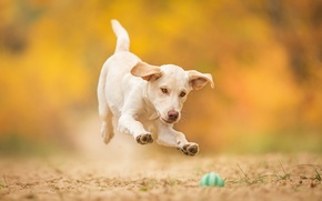 Picture jump, the game, dog, puppy, the ball