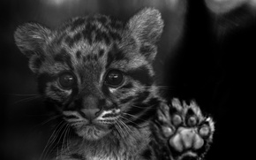Picture look, kitty, color, wild cat, clouded leopard