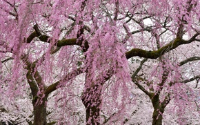 Picture trees, flowers, branches, spring, flowering