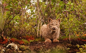 Wallpaper cat, wildlife, lynx