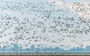 Picture geese, wildlife, Snow Geese