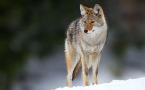 Picture eyes, snow, eyes, snow, bokeh, bokeh, coyote, coyote