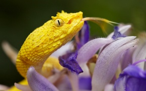 Picture macro, snake, Viper, Cacocholia bothrops Schlegel