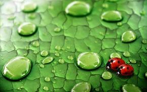 Wallpaper greens, drops, insects, Rosa, Sheet, ladybugs