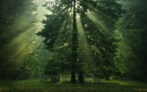 Picture tree, greens, coniferous, crown, the sun's rays, forest