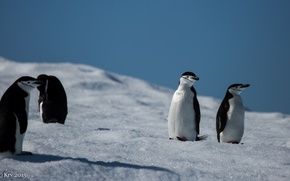Picture animals, penguin, Antarctica