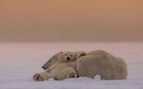 Picture bears, white, mom, Umka